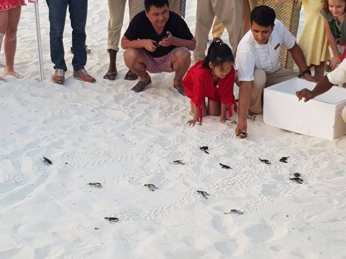 FIRST TURTLE HATCHLINGS OF 2018 AT DUSIT THANI MALDIVES-MALDIVES INSIDER